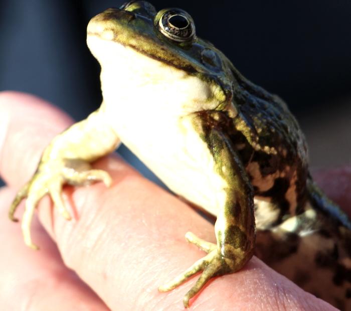 Termine 2020: bei LZR ist der Frosch König!