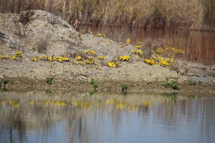 Huflattich – Frühblüher zur Freude der Insekten
